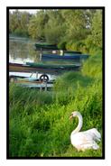 Goose in Dijon, France