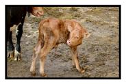 Newborn Calf in Switzerland