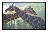 Giraffes in Embrace