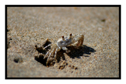 Sand Crab in Hawaii