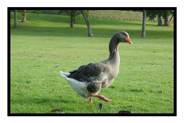 Goose in Merignac, France'